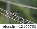 ツバメ 小鳥 鳥の写真 12100768