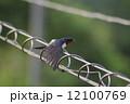 ツバメ 小鳥 鳥の写真 12100769