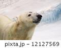熊 シロクマ ホッキョクグマの写真 12127569