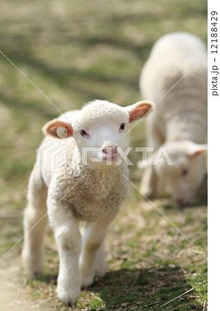 子羊 12188429