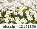 ノースポールの花 12191869