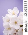 桜の花 染井吉野 桜の写真 12193325
