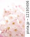 桜の花 染井吉野 桜の写真 12193406