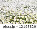 ノースポールの花 12193829