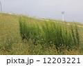 江戸川 土手 雑草の写真 12203221