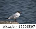 ユリカモメ 水鳥 鳥の写真 12206597