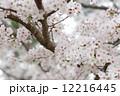 桜 12216445