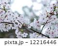 桜 12216446