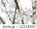桜 12216447