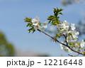 桜 12216448