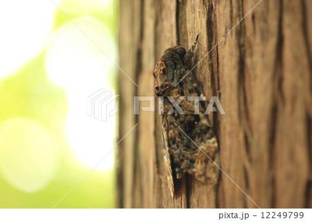 生き物 昆虫 クロメンガタスズメ、不吉なイメージの蛾です。横から見ると髑髏マークは立体的な造形になっています 12249799
