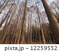 メタセコイヤ メタセコイア 木の写真 12259552