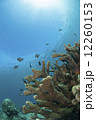 サンゴ 小魚 海中の写真 12260153
