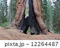 マリポサグローブ ヨセミテ国立公園 セコイアの写真 12264487