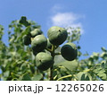 これから黒く熟し白い種を生むナンキンハゼの未熟な実 12265026