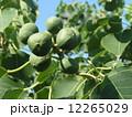 これから黒く熟し白い種を生むナンキンハゼの未熟な実 12265029
