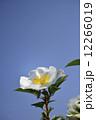 バラ 薔薇の花 薔薇の写真 12266019