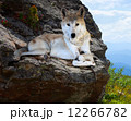 wolf lays on rock 12266782