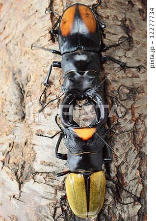 ラコダールツヤクワガタ対セアカフタマタクワガタの樹木の上での対決の写真素材 [12277734] - PIXTA