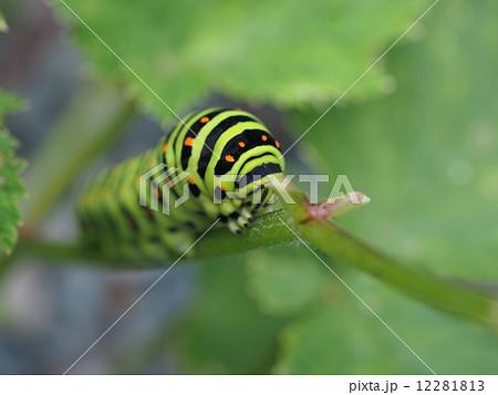 キアゲハの幼虫(クローズアップ) 12281813