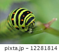 芋虫 幼虫 キアゲハの写真 12281814