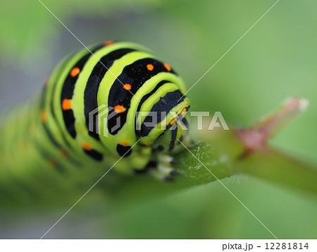 キアゲハの幼虫(クローズアップ) 12281814