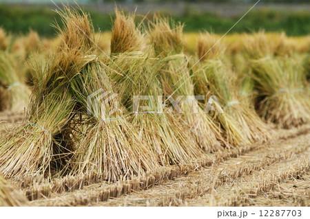束ねた稲わら 12287703