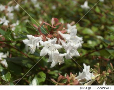 春から秋まで長く咲いている香りの良いアベリアの白い花 12289581