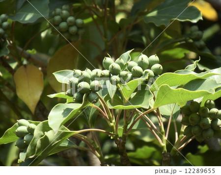 着ると姿が隠せる簑のように葉が蜜についるカクレミノの実 12289655