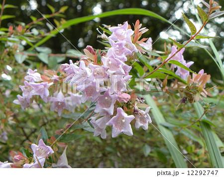 春から秋まで長く咲いている香りの良いアベリアの白い花 12292747