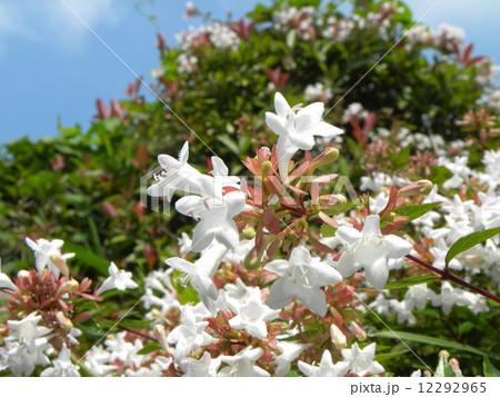 春から秋まで長く咲いている香りの良いアベリアの白い花 12292965
