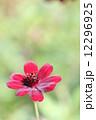 ビデンス・アトロサンギネア チョコレートコスモス 花の写真 12296925