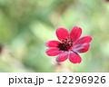 チョコレートコスモス ビデンス・アトロサンギネア 花の写真 12296926