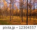 カラ松 秋 森林の写真 12304557