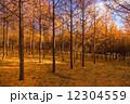 カラ松 秋 森林の写真 12304559