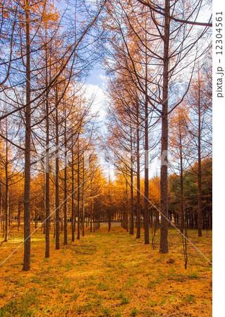 秋の信州カラ松の木立 12304561
