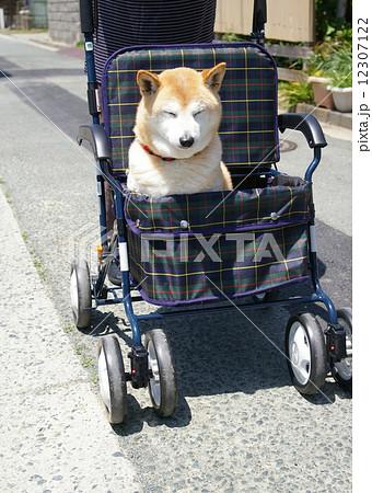 老犬(柴犬)を手押し車で散歩させる様子 12307122