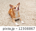 brown chihuahua dog sitting on the carpet 12308867