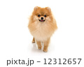 Portrait of  cute pomeranian spitz isolated 12312657