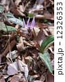 片栗カタクリ 一年のうち10か月はお休みしている春の妖精 12326353