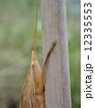 クビキリギリス茶色(頭部) 12335553