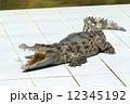 肉食動物 肉食獣 ワニの写真 12345192