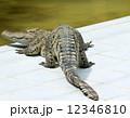 肉食動物 肉食獣 ワニの写真 12346810