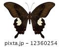 キアゲハ ブラウン 黒色の写真 12360254