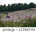 国営昭和記念公園 秋 秋桜の写真 12366744