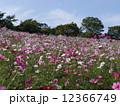 秋 秋桜 コスモスの写真 12366749