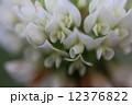 白詰め草 白詰草 シロツメクサの写真 12376822