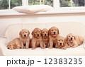 ゴールデンレトリバー 仔犬 ぺットの写真 12383235