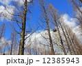 メタセコイヤ メタセコイア 木の写真 12385943