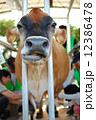 乳搾り中のジャージー牛 12386478